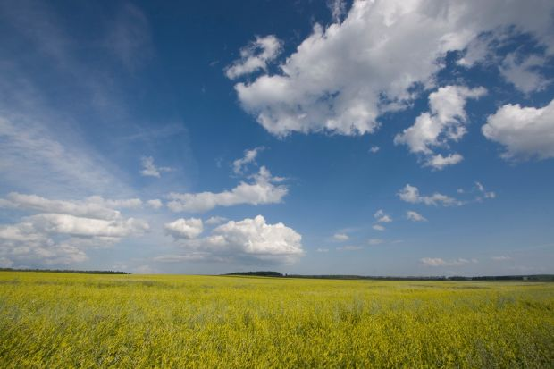 field of rapeseed and clouds